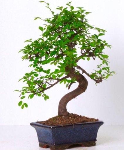 S gövdeli bonsai minyatür ağaç japon ağacı  Aydın incir çiçek çiçek gönderme sitemiz güvenlidir