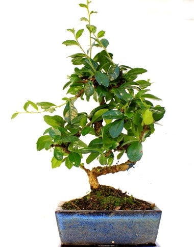 S gövdeli carmina bonsai ağacı  Aydın incir çiçek çiçek yolla  Minyatür ağaç