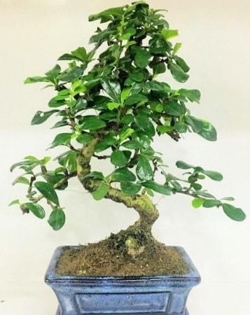 Zelkova S gövdeli Minyatür ağaç Bonzai  Aydın incir çiçek çiçek gönderme