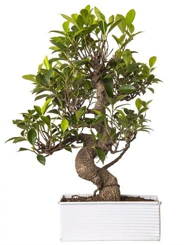 Exotic Green S Gövde 6 Year Ficus Bonsai  Aydın incir çiçek çiçek gönderme sitemiz güvenlidir